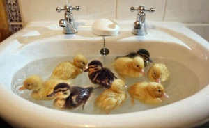 Sink full of Ducks