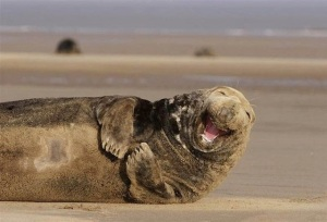 Laughing Walrus